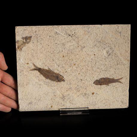 Skamieniałe ryby Knightia alta - Eocen - USA