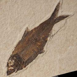 Skamieniała ryba Knightia alta - Eocen - USA