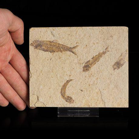 Skamieniałe ryby Knightia eocaena - Eocen - USA