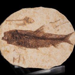 Skamieniała ryba Knightia eocaena - Eocen - USA