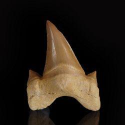 Ząb rekina Otodus obliquus - Eocen - Maroko