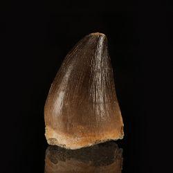 Ząb mozazaura Mosasaurus anceps - Kreda górna - Maroko