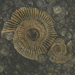 Dolnojurajskie amonity Dactylioceras i Eleganticeras