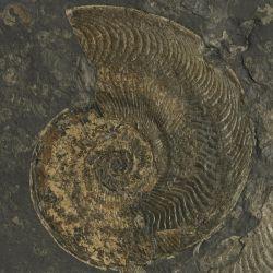 Dolnojurajskie amonity Harpoceras, Dactylioceras i Eleganticeras
