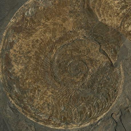Dolnojurajskie amonity Harpoceras i Eleganticeras