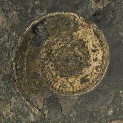 Dolnojurajskie amonity Hildoceras, Dactylioceras i Eleganticeras