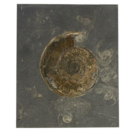 Dolnojurajskie amonity Hildoceras i Eleganticeras