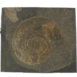 Dolnojurajskie amonity Harpoceras i Dactylioceras