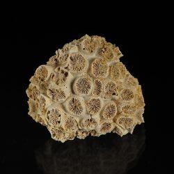 Koralowiec Tarbellastraea conoidea z miocenu
