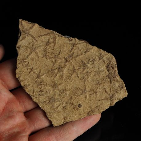 Rozgwiazdy Asterina sp. i wężowidła Ophiuroidea sp. - Miocen - Węgry