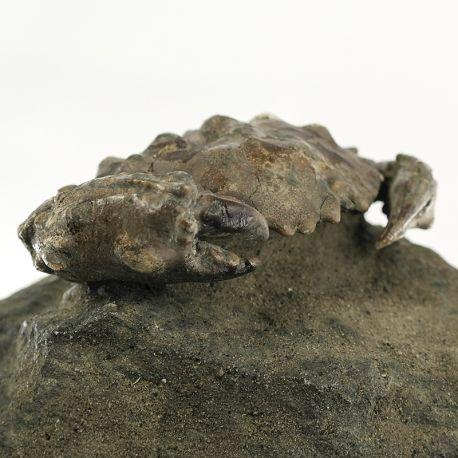 Eoceński krab Zanthopsis dufouri z Hiszpanii