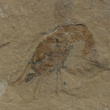 Kredowa krewetka Carpopenaeus callirostris z Libanu