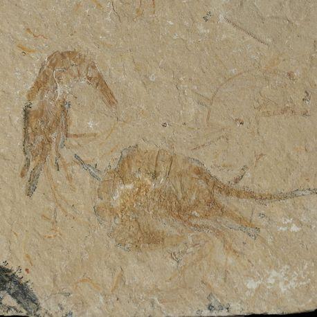 Kredowe krewetki Carpopenaeus callirostris z Libanu