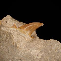 Ząb rekina Otodus obliquus na skale - Eocen - Maroko