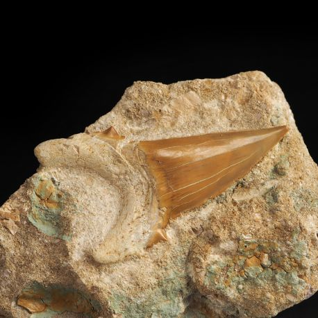 Duży ząb rekina Otodus obliquus na skale - Eocen - Maroko