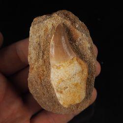 Ząb mozazaura Mosasaurus anceps na skale - Kreda górna - Maroko