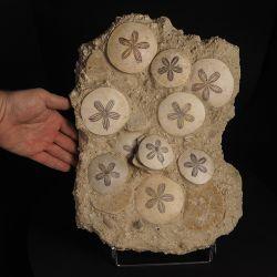 Mioceński jeżowiec Scutella paulensis w skale - Francja