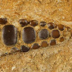 Zęby płaszczki Phacodus punctatus sprzed 70 milionów lat - Maroko