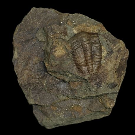 Kambryjskie trylobity Ellipsocephalus hoffi