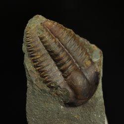 Kambryjski trylobit Ellipsocephalus hoffi