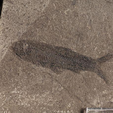 Ryba z rodzaju Clupea - Oligocen - Ukraina